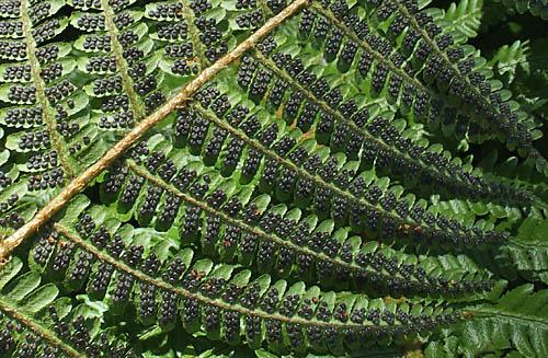 「シダ植物 裏」の画像検索結果